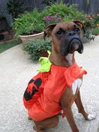 Boxer Puppy Halloween Costumes Dog Dressed Pirate Costume Halloween Costume Contest Dog