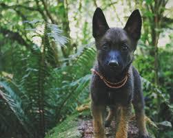 belgian malinois names belgian malinois the goat dog breed bodybuilding com forums