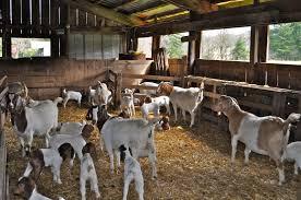 scle goat barn ideas