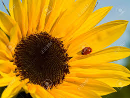 bright red ladybug on a warm yellow sunflower stock photo picture