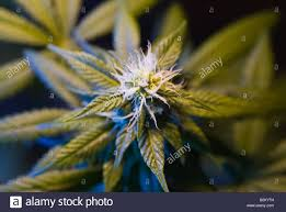 close up of cannabis flower stock photo royalty free image