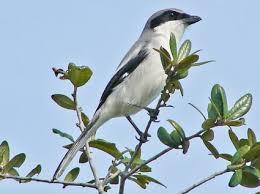Florida Backyard Birds - northern mockingbird identification all about birds cornell