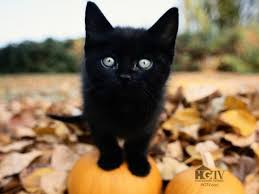halloween kittens your daily black cat to remind you to keep your kitties safe