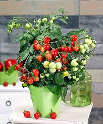 buy vegetable seed now cherry tomato u0027heartbreaker vita f1