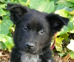 belgian shepherd labrador retriever mix learn about the german shepherd border collie mix dogable