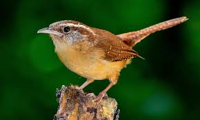 Backyard Birding Magazine The Carolina Wren Bird Species Backyard Birding Blog