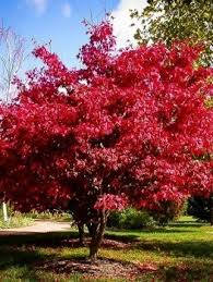 buy japanese maple trees the tree center