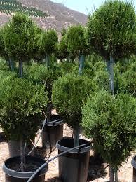 juniperus chinensis spartan poodle t y nursery