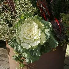 what are ornamental vegetable plants using veggies and herbs for