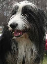 bearded collie x terrier bc museum coat type