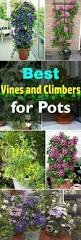 best 25 climber plants ideas on pinterest flower vines flowers
