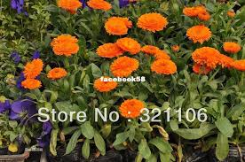 cheap seed packets online cheap seed savers exchange 1066 flower seeds calendula