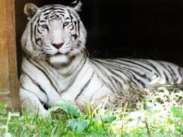 white tiger facts history information images