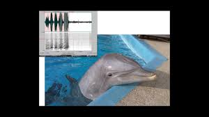 dolphins can call each other not by name but by whistle