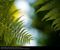 Free Picture Leaf Nature Fern Fern Nature Plant Green A Royalty Free Stock Photo From Photocase