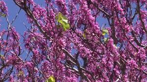 jacaranda trees with purple flowers against blue sky stock footage