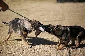 belgian shepherd south africa german shepherd puppies