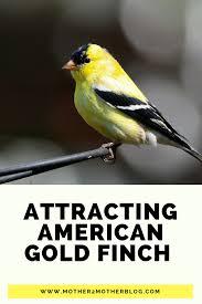 american gold finch attracting backyard birds mother2motherblog