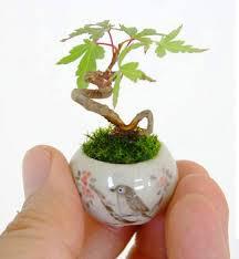 a tiny maple bonsai the meta picture