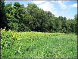 sunflowers for food plot