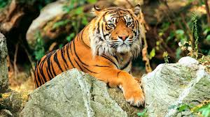 controversial study claims there are only two types of tiger