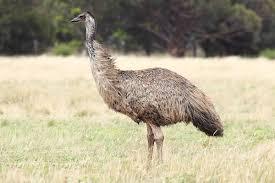 emu wikipedia