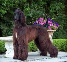 afghan hound weight afghan hound originally persian greyhound best breed and breeders