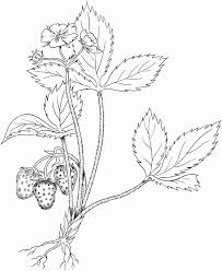virginia strawberry or wild strawberry coloring page fruits