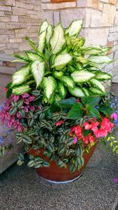 best 25 caladium garden ideas only on pinterest container great site for photos shown dumb cane dieffenbachia wandering jew begonia and don t know the spotted leafed plant plus lots of other ideas