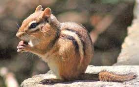 eastern chipmunks boston jamaica pond franklin park olmsted