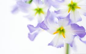 flowers on white background hd desktop wallpaper high definition