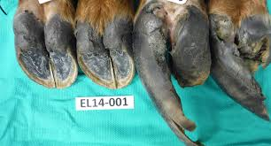 elk hoof rot disease raises further questions for wildlife experts