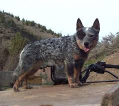 3 4 australian shepherd 1 4 blue heeler 3 mini and toy heelers rightwayranch hotmail com