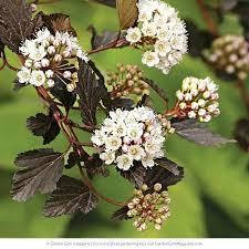 blooming shrubs pearl bush flowering bush