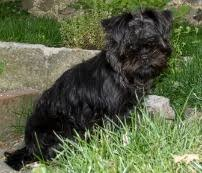 affenpinscher youtube affenpinscher everything you want to know about the monkey dog