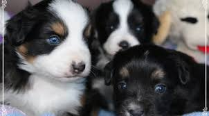 australian shepherd puppies near me stonger miniature and standard aussies miniature and standard