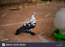 blotchy pigeon sitting in aviary at ornamental chickens show in