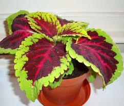 How To Grow Coleus Plants by Coleus Blumei Plectranthus Scutellarioides Our House Plants