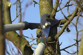 trimming cherry trees when and how to prune a cherry tree