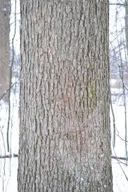 White Oak Tree Bark Identifying Trees In Winter Barefoot Foods