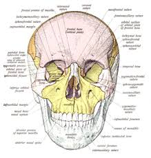 Photos Of Human Anatomy Skull Wikipedia