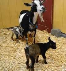 359 best goats images on pinterest baby goats baby pygmy goats