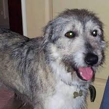 bearded collie x terrier lucy locket u2013 2 year old female bearded collie cross dog for adoption
