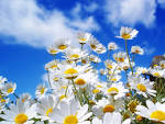 Wallpapers Backgrounds - Spring Daisy wallpaper (spring wallpapers daisy 7savers 1152x864)