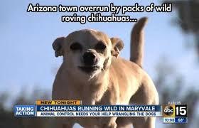 Funny Chihuahua Memes - epic pix like 9gag just funny gang of chihuahuas