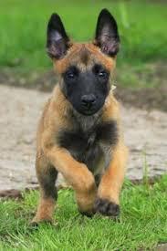 belgian shepherd oklahoma belgian malinois dog portrait pinterest belgian malinois