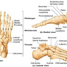 lateral malleolus anatomy choice image learn human anatomy image