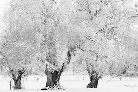three snow frosted trees in black and white photograph by bo