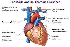 External Heart Anatomy Blood Vessels