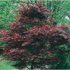 shop 5 5 gallon japanese maple feature tree l17076 at